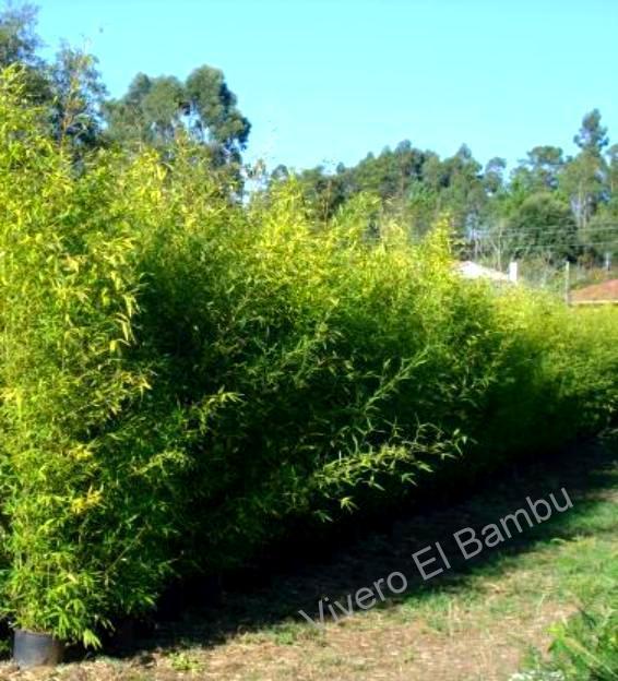Planta de bambu en maceta vivero granada casa dise o for Viveros en granada