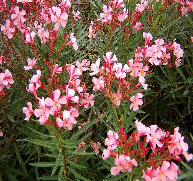 Equisetum - Laurel de jardin ...